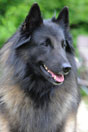Canis Lupus of the beautiful black one
